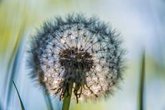 dandelion (sami kuosmanen) Tags: dandelion taraxacum officinale voikukka finland flash flower kukka kuusankoski kouvola kesä nature north europe suomi bokeh dof luonto light valo värikäs