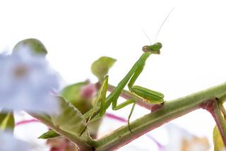 Baby praying mantis