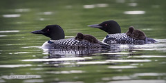 Loons at Rest (maryanne.pfitz) Tags: commonloons gaviaimmer loonchicks napping swimming nature wildlife divingbirds birds tomahawk wisconsin lincolncounty mapcl0886 maryannepfitzinger