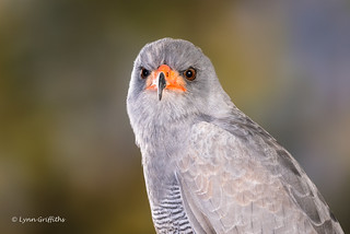 Pale Chanting Goshawk (Melierax canorus) D50_4276.jpg