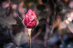 Sony a7 50mm (Jasrmcf) Tags: ilce7 sel50f18f sony sonya7 sonyalpha macro macros macrotube dof bokeh bokehlicious bokehgraph delicate detail depthoffield amazing smooth blur rose roses insect insects nature ngc greatphotographers 50mm pink