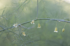 garden asparagus (MikaJC) Tags: gardenasparagus flower tiny bell asparagusofficinalis tepals bbg