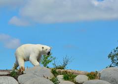 Ijsberen in Wildlands (Romanie de Groot) Tags: 24120mm f4 nikon d5200 ijsberen wildlands outdoor outside zoo emmen drenthe holland