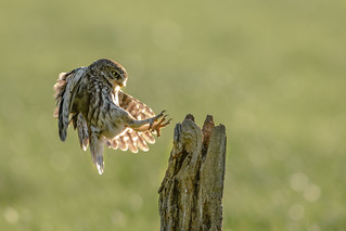 Little Owl coming in
