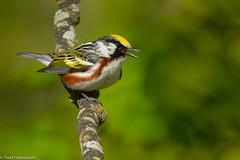 BJ8A6276-Chestnut-sided Warbler (tfells) Tags: bird nature nj new jersey chestnutsided warbler passerine songbird chestnutsidedwarbler baldpate mt mercer