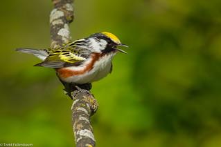BJ8A6276-Chestnut-sided Warbler