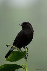 Pied Bushchat,Male (Deepu Cyriac) Tags: anamalaitigerreserve atr anamalais indianforest birds bird travel tamilnadu nature wildlife westernghats piedbushchat bushchat valpara valparai
