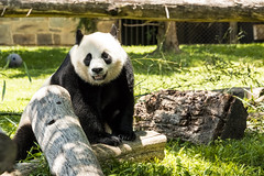 Mei Xiang, A Great Panda (JLyn Nature Photography) Tags: nationalzoo fonz smithsonianinstitute adobe photoshop pscc canon 70d panda giantpanda meixiang