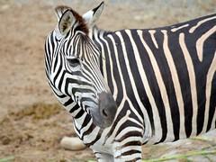 Taipei Zoo 2 (Sketchpoet) Tags: zoo zebra chapmanszebra plainszebra taipeizoo