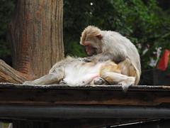 DSCN3742 (yoshitoshi ABe) Tags: 20170514 吉祥寺 井の頭自然文化園 nikon coolpixp900 サル