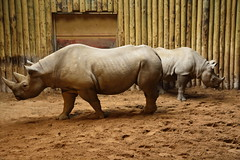 Chester Zoo (51) (rs1979) Tags: chesterzoo zoo chester blackrhino rhino
