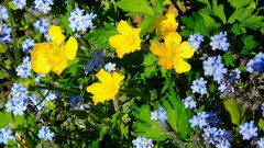 yellow and blue (byronv2) Tags: rural countryside clydevalley scotland strathaven yellow flower flowers buttercup blue colour summer sunny sunlight