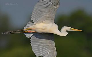 Great White Egret close encounter