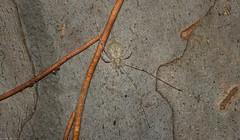 the Tamopsis Five : 5 (dustaway) Tags: arthropoda arachnida araneae araneomorphae hersiliidae tamopsis tamopsisbrisbanensis longspinneretbarkspider australianspiders spideronbark lismore northernrivers nsw nature australia bark myrtaceae corymbia corymbiacitriodora