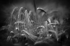 Chaos (aveyardphotography) Tags: chaos disorder barley crop tangled light dark mono monochrome black white moody nature chaotic