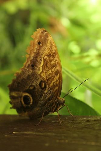 IMG_3286 Caligo eurilochus?