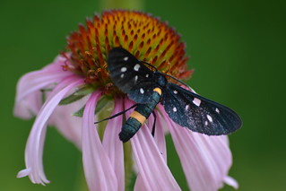 Synthomis phegea su Echinacea