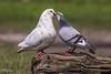 2017-06-15-0488 (BZD1) Tags: natura nature natuur bird aves dove duif kalmthoutbelgie stadsduif