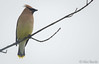 Cedar Waxwing - Bombycilla cedrorum (Aphelocoma_) Tags: 2017 bombycilla bombycillacedrorum bombycillidae canonef300mmf28lisiiusmlens canoneos5dmarkiii canonextenderef14xii cedarwaxwing connecticut image litchfield litchfieldcounty littlepond may nature passeriformes photo photograph picture unitedstates waxwing whitememorial whitememorialfoundation wildlife animal bird spring