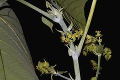 Macaranga tanarius (andreas lambrianides) Tags: macarangatanarius euphorbiaceae nasturtiumtree australianflora australiannativeplants australianrainforests australianrainforesttrees australianrainforestflowers arfp qrfp ntrfp cyprfp arfflowers greensisharfflowers welldevelopedrainforest marginalarf