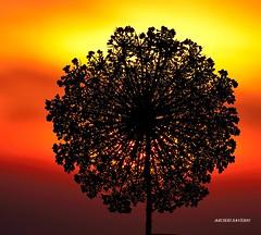 Sunset (Arcieri Saverio) Tags: sunset rosso red fiore tramonto nikon 55300mm light controluce stilllife nature natura flowers sky