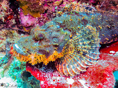 """Stonefish • <a style=""""font-size:0.8em;"""" href=""""http://www.flickr.com/photos/126602711@N06/35384056445/"""" target=""""_blank"""">View on Flickr</a>"""