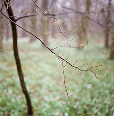 Moments from the forest (Boldizsar Nadi) Tags: nature forest raindrop dof twig branch bokeh snowdrop rain outdoor green spring march season field lights pentacon six tl carl zeiss jena biometar kodak portra 400 80mm 120mm f28 roll medium format mittelformat scan scanned analogcamera analogphotography analog analogphotohrapher analogue analogia negative negativephotography nega filmphotography film filmcamera filmgrain celluloid grain noise originalphotographers