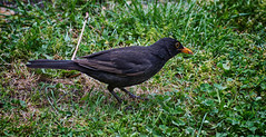 Desayunando (Carlos Javier Pérez) Tags: pájaro ave gusano desayuno naturaleza nikon nikond500 turdusmerula mirlo
