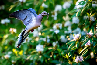 Good Mourning Dove (with prey)