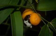 Eustrephus latifolius (dustaway) Tags: goonellabah northernrivers nsw australia nature luzuriagaceae eustrephus eustrephuslatifolius wombatberry twiner fruit australianplants arfp nswrfp qrfp vicrfp marginalarfp arfclimber arftwiner arffs yellowarffs capsule seeds