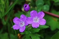 Wildblume (Hugo von Schreck) Tags: hugovonschreck macro makro flower blume blüte canoneos5dsr tamron28300mmf3563divcpzda010 wildblume wildflower fantasticnature givemefive