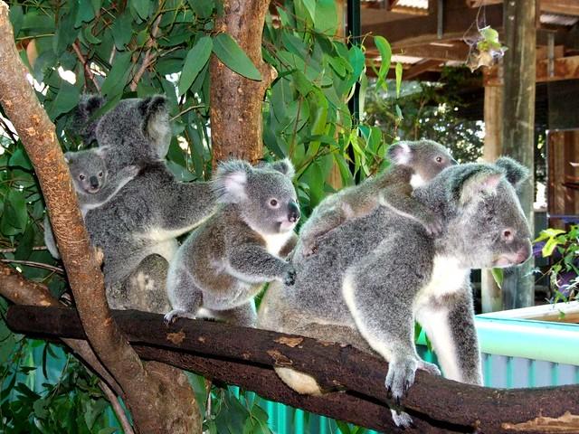 記念撮影をしよう!半日コアラ観光