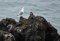 King of His Own Little Island (Sotosoroto) Tags: oregon coast oregoncoast yaquina newport yaquinahead yaquinapoint pacific ocean pacificocean sea shore cliff bird seagull gull