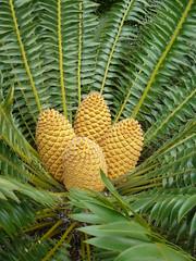 Encephelartos altensteinia (tammoreichgelt) Tags: cones cycad cone eastern cape giant adelaide zamiaceae foliage
