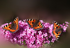 a place for 3 butterflies (HocusFocusClick) Tags: butterflies insects buddleia flower plant nature garden