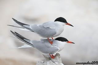 double common terns