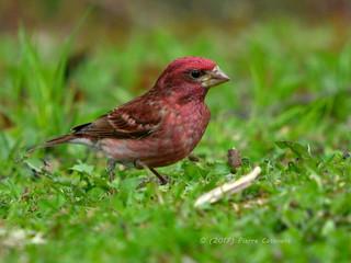 Roselin pourpré, Purple Finch.  DSC_4387