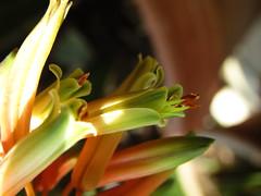 Aloe arborescens Mill.