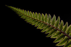 Curvaceous (Prestidigitizer) Tags: macro onblack fern paintedfern frond garden pentaxk3 sigmaexdg70mmmacro