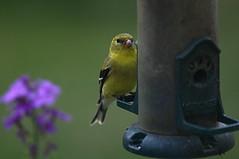 Goldfinch (joeldinda) Tags: nikon d300 nikond300 2012 home mulliken michigan yard feeder wildflowers damesrocket dames rocket bird finch 1622 may 152366 onthisdate