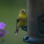 Goldfinch thumbnail