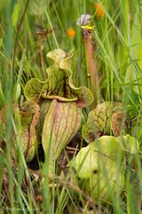 Pitcher Plant (stephaniepluscht) Tags: alabama 2017 graham creek nature preserve foley wildflowers wildflower pitcher plant plants sarracenia bog wasp
