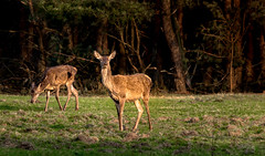 Red Deer Hind (Leen Goudappel) Tags: animals veluwe nederland netherlands europe gelderland world earth wildlife wild red deer edelhert hind hindes spring lente nature natuur perfect perfection beautiful thisislive canon sigma 150600mm photography