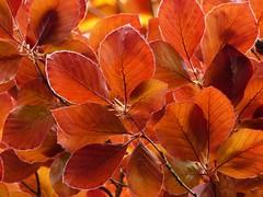 Leaves of the Copper beech in spring. (Christa_P) Tags: nature blätter leaves laub foliage buche purpurbuche blutbuche copperbeech fagus fagaceae tree baum spring frühling
