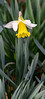 Lovely in Lemon and White (Jocey K) Tags: southisland newzealand nikond750 christchurch monavale flowers daffodil