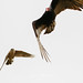 Cooper's Hawk (Accipiter cooperii) and Turkey Vulture (Cathartes aura)