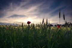 Poppies in the setting sun (* mariozysk *) Tags: poppy mak poppies maki field pole mariozysk zboże crop sunset zachód słońca sigma 1750mm golden hour złota godzina halo effect clouds chmury o