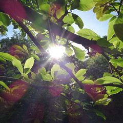Here comes the Sun (jondewi52) Tags: colours colour dawn garden nature outdoor outdoors leaves sunrise sun tree trees branches