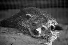 les yeux du binturong (rondoudou87) Tags: pentax k1 nature natur parc zoo reynou binturong bearcat monochrome noiretblanc noir blanc black blackwhite white yeux eyes da300 smcpda300mmf40edifsdm