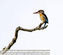 _DJA2845 copy (naturephotographywildlife) Tags: kruger a99ii wildlife animals nature park kingfisher